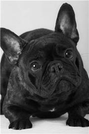 французский черный бульдог фото