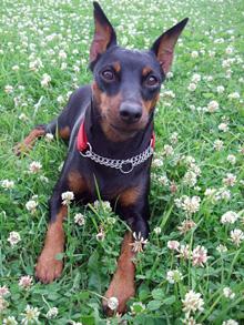 собака карликовый пинчер цена фото