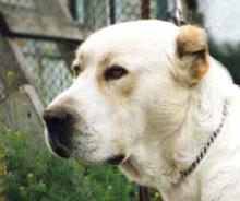 собак фото порода алабай