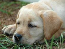 Гепатит у щенка симптомы