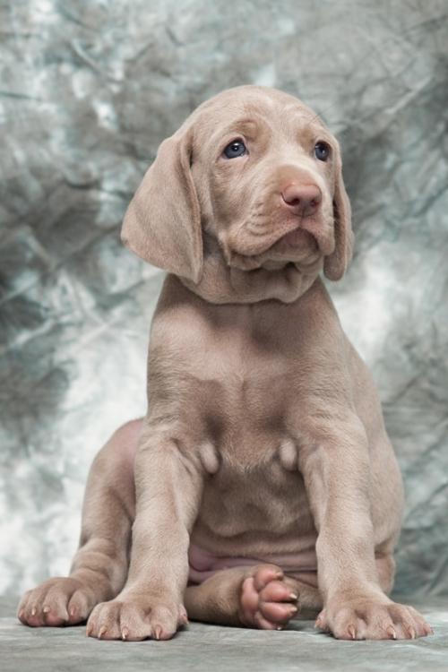 Веймаранер щенки