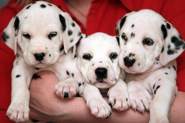 далматинец фото щенки