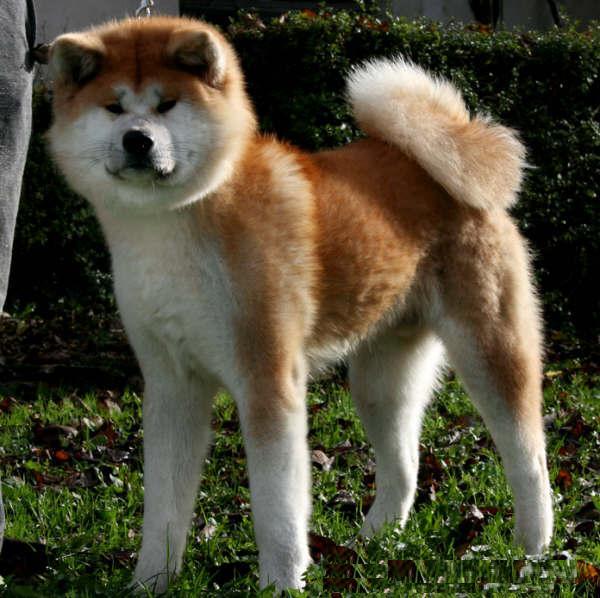 фото акиты собаки