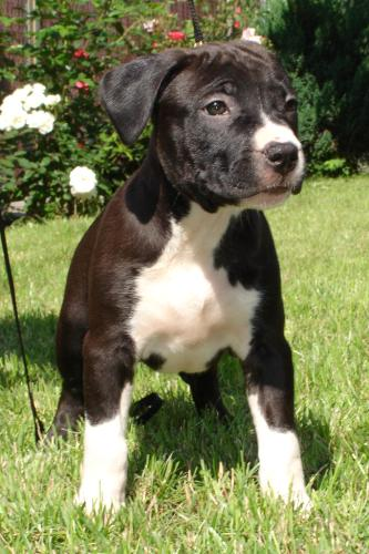 Стаффордширский бультерьер фото описание породы собак