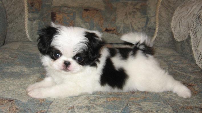 фото собак порода японский хин