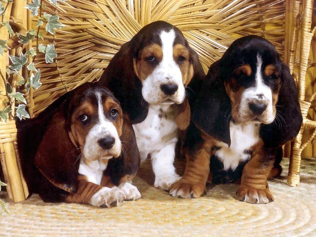 http://www.house-dog.ru/images/dogs/9087_bladhaund.jpg