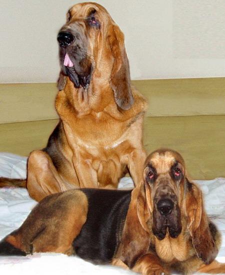 http://www.house-dog.ru/images/dogs/9349_bladhaund.jpg
