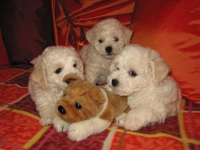 Породы собак фото породы собак декоративные породы собак