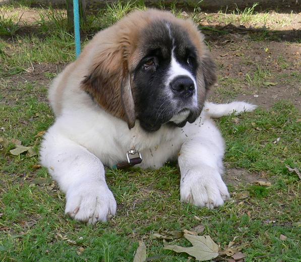 фото собаки сенбернара