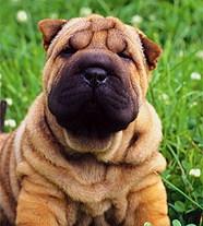 собаки порода шарпей фото