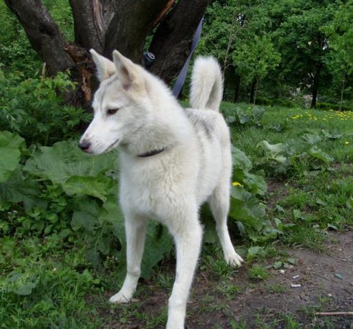 лайка западно сибирская фото.
